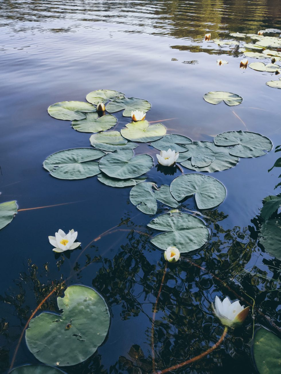 Water lilies in still water. Opens in lightbox.